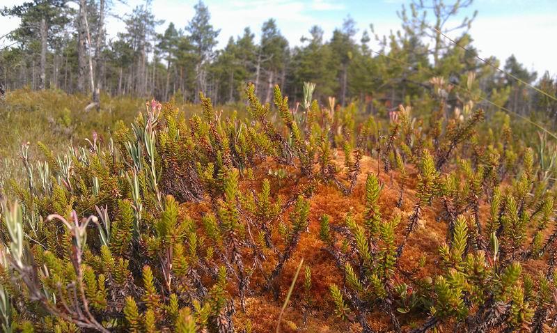 росянка на болоте
